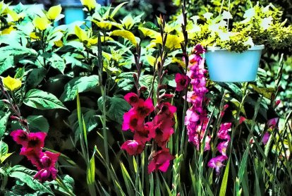 gladiolus_a_place_in_the_sun
