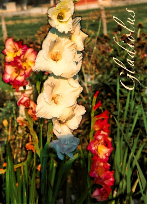more gladiolus