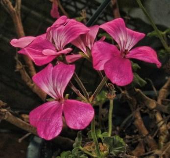 some-more-pink-geraniums1