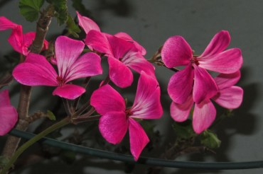 some-more-pink-geraniums3