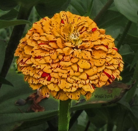 pepprmt-golden-zinnia