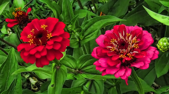 red-and-pink-zinnias