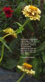 zinnias-pale-gold-w-quotation