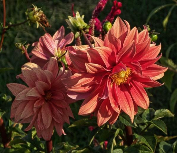 dahlia-bloom-2013