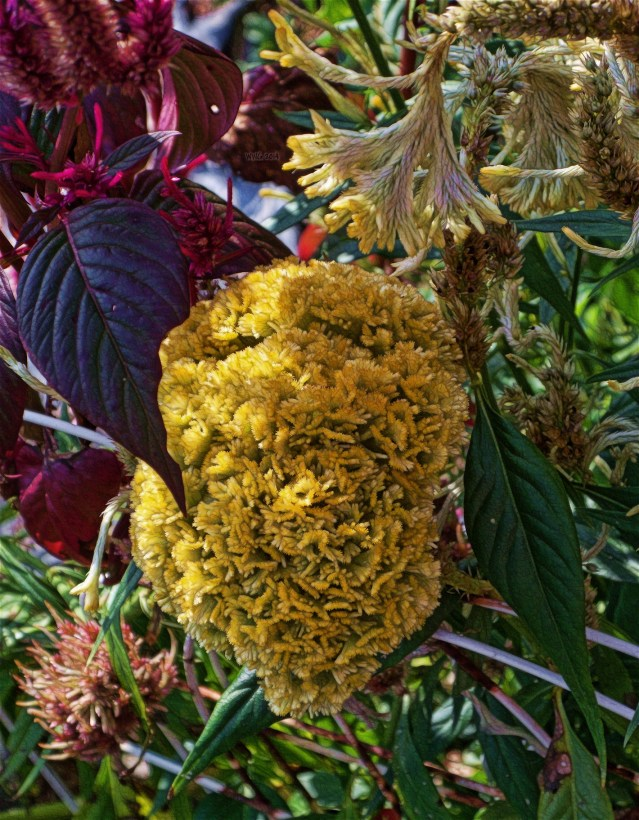 golden-celosia-drooping
