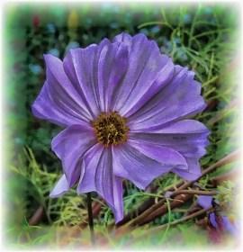 lavender-color-cosmos-blsm