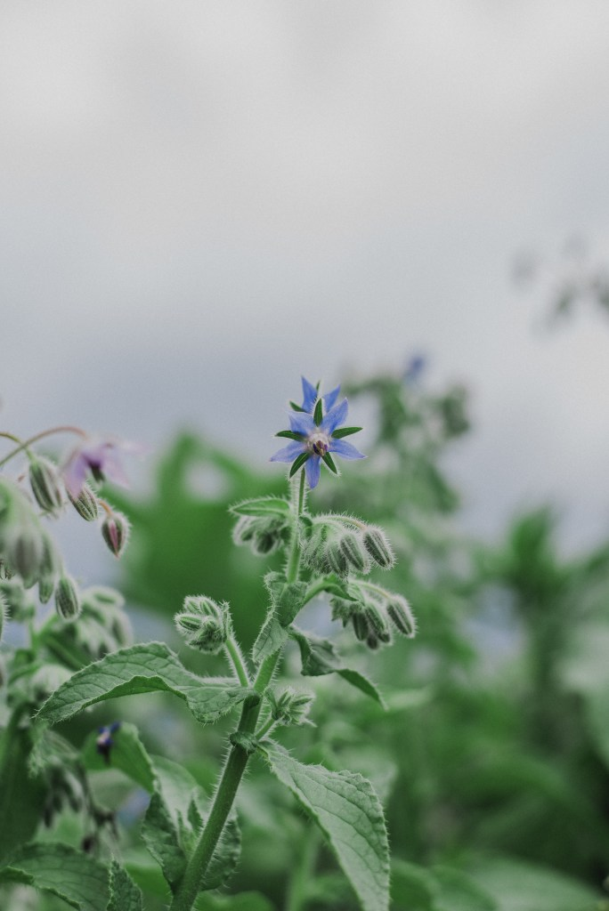 Borage flower, used in ritual Cancer new moon 2019