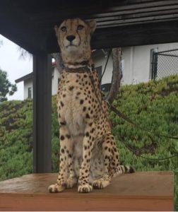 Meet and Greet a Cheetah