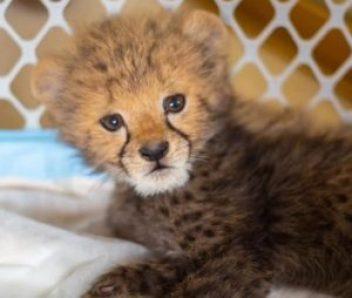 Tavi Cheetah Cub