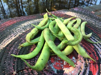 And the green beans keep coming!