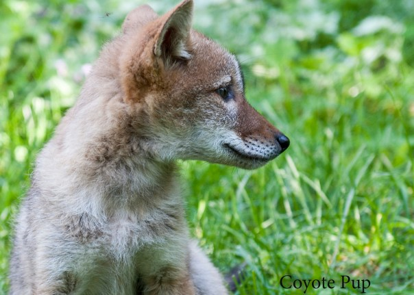 coyotepup8686_edited-1