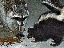 raccoon-and-skunk