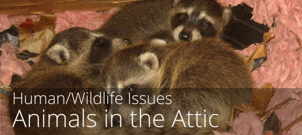 What to do when animals are in your attic