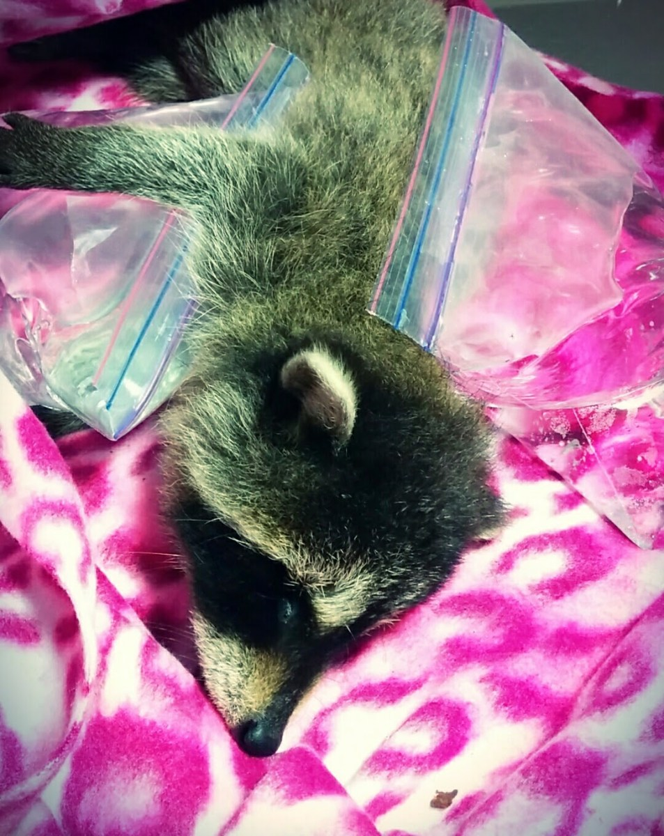 Warming up a raccoon kit with Ziploc® bags filled with warm water