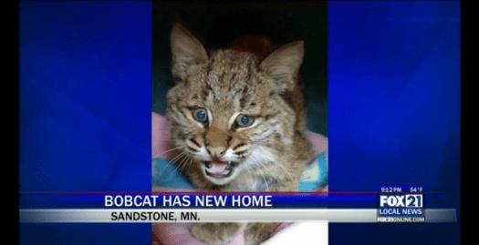Bobcat has new home | Fox21 News