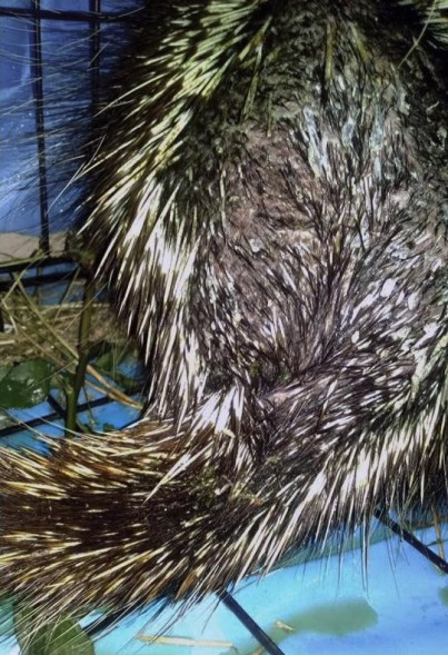 Healing porcupine