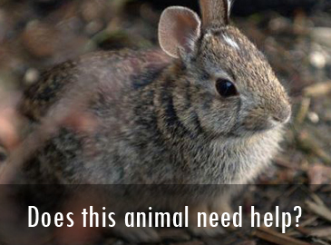 Does this animal need help: Rabbits