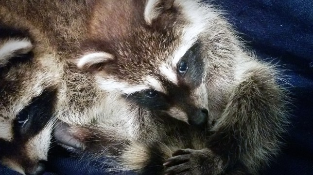 These little raccoon kits need a bigger space to play and learn before they can be released.