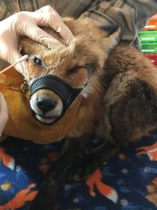 Fox receiving eye medication