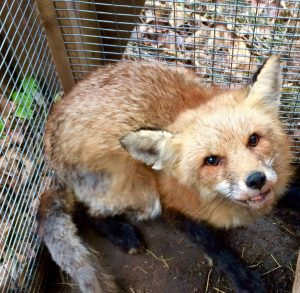 Red fox on the mend from mange