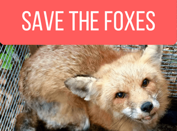 Help us save our foxes from mange