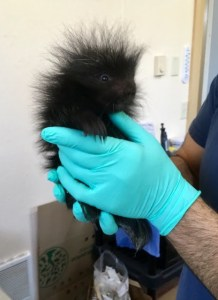 Orphaned baby porcupine