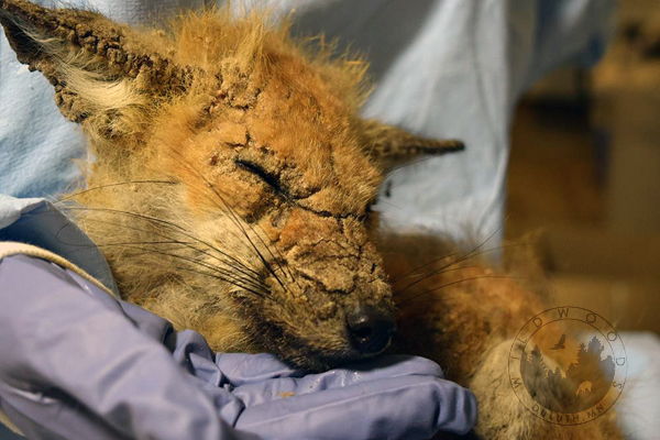 baby fox with severe mange. The fur is matted and skin cracked, eyes swollen shut and too weak to eat