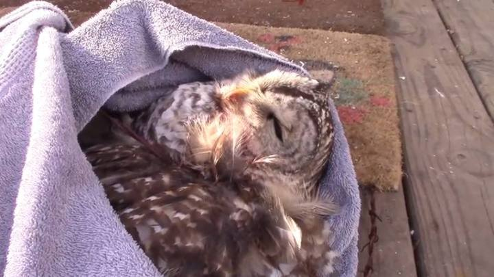 Freed from the barbed wire fence, the owl is transported to care