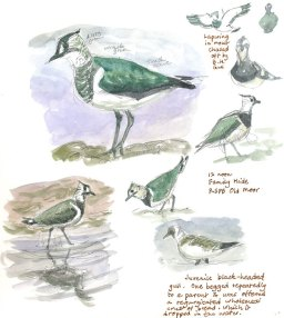 Lapwing in moult. I guess that it's an adult but it could be a juvenile coming into its adult plumage.