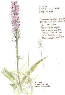 A variable species, this was growing in a dry area, by a hedge near the visitor centre.