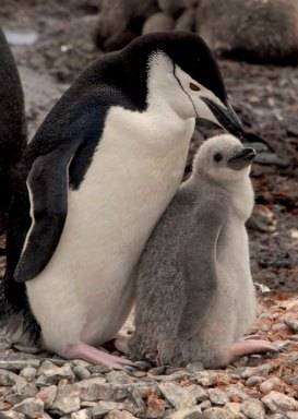 Penguin and chick, near Chilean base