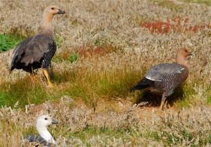 magelan-geese-2007-01-07-at-12-31-42