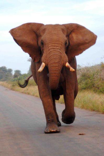 Charging: It was Elephant Day this week.