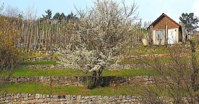 Blühende Sträucher im Weinberg