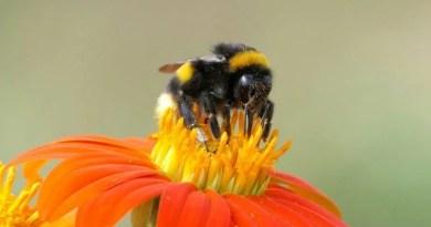 Wildbiene auf einer Blüte