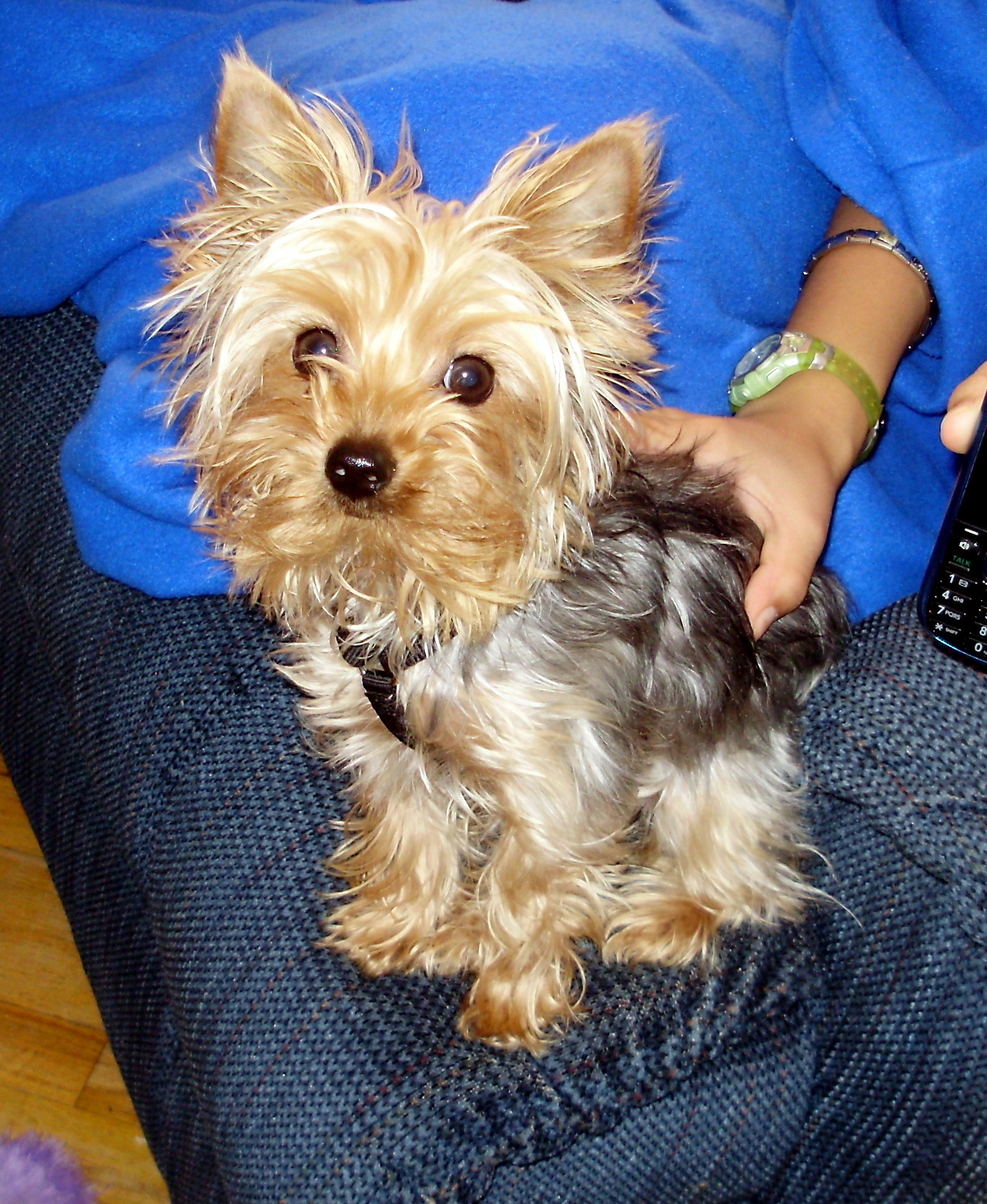 Teacup Puppies For Sale Missouri : teacup, puppies, missouri, Puppy, Yorkie, Breeder, Puppy's