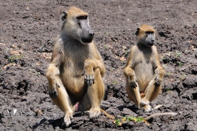 Yellow baboons in Selous Game Reserve