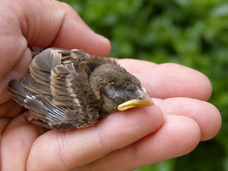 sparrow-1421473_1920 (1).jpg