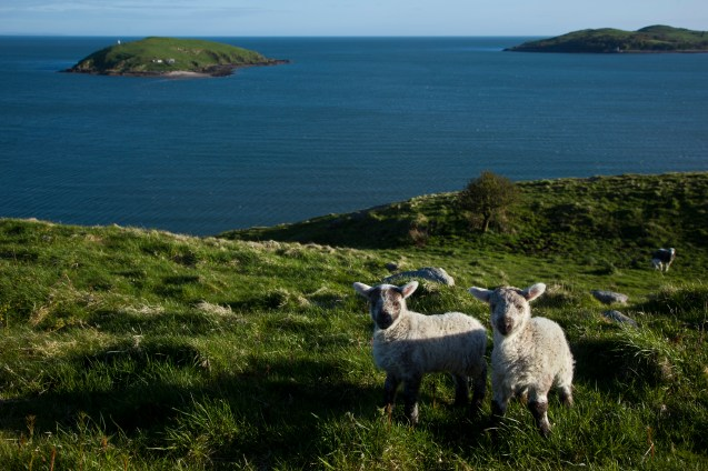 Hestan Island: Sheep