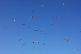 Gannets up high