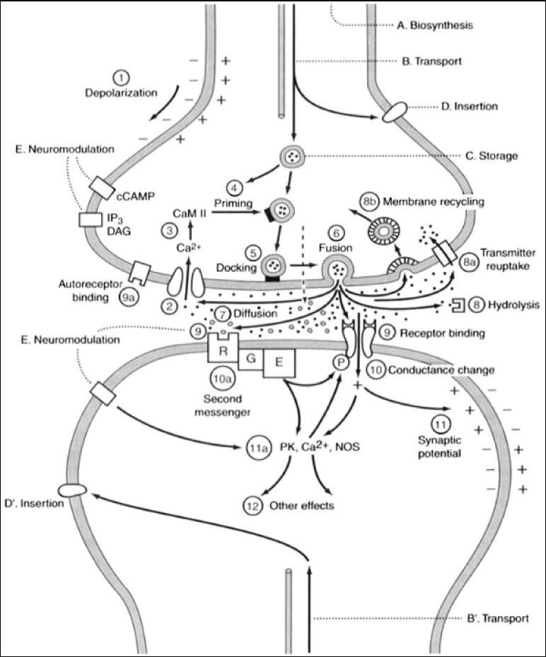 List of Synonyms and Antonyms of the Word: synapse diagram