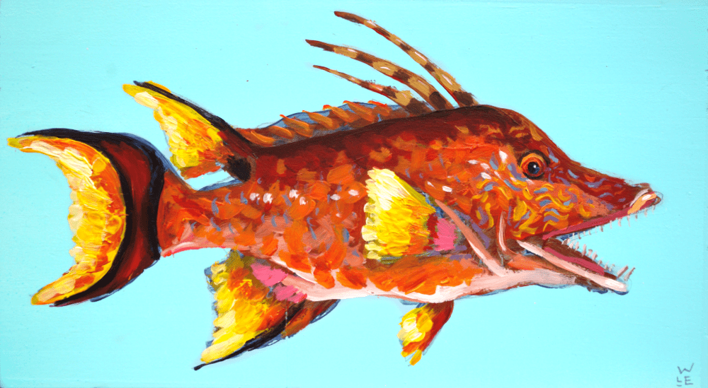 Hogfish – Day 16