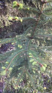 Spruce tips: the evergreen-citrus flavor is wonderful for teas and in cooking.