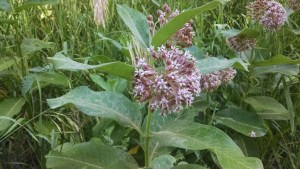 Milkweed flowers are good. But leave lots on the plants, because the pods are even better!