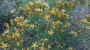 St. John's Wort is widely used to combat depression, nervousness, and anxiety.