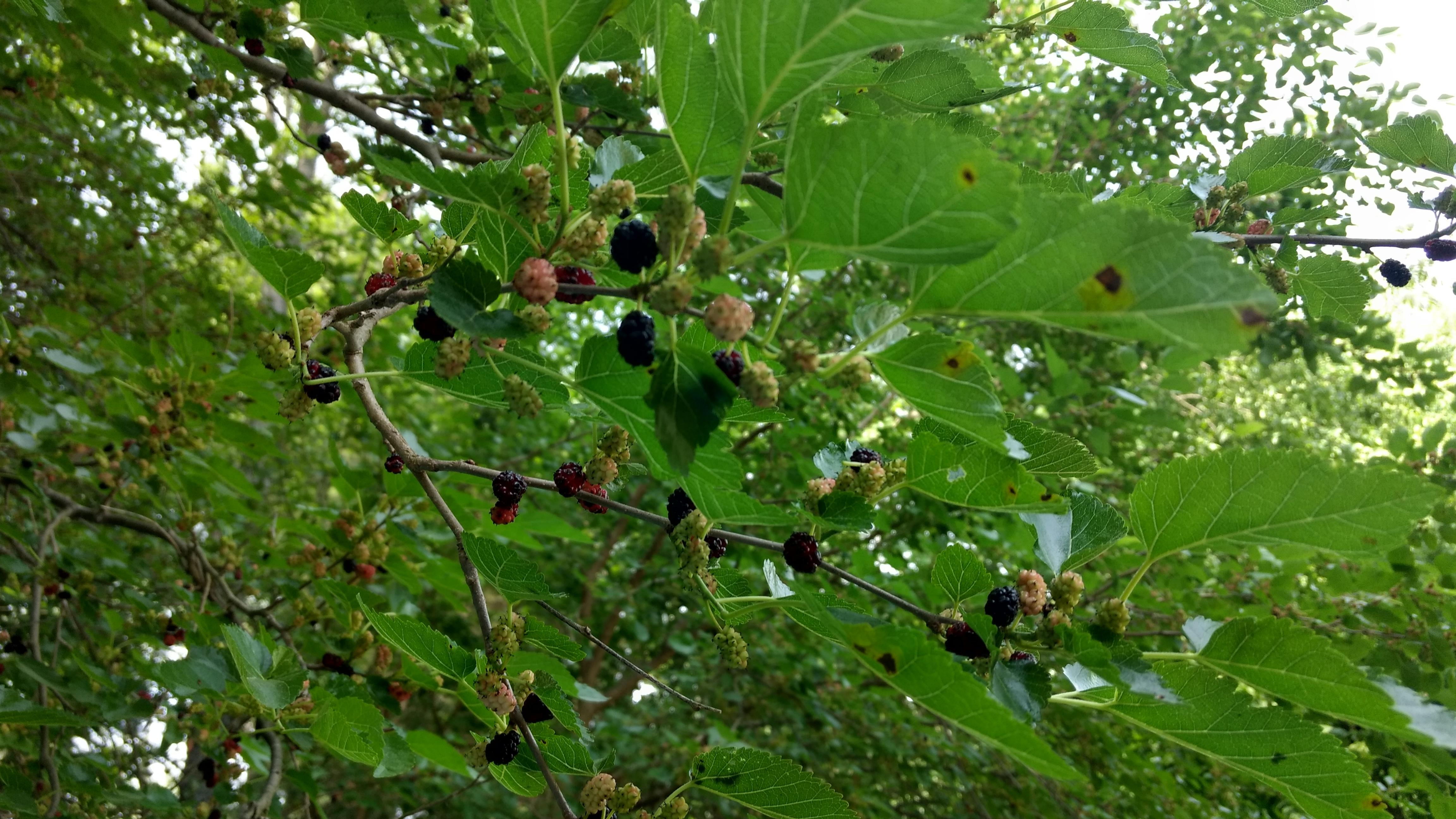 Seasonal Recipe: Mulberry Vinegar