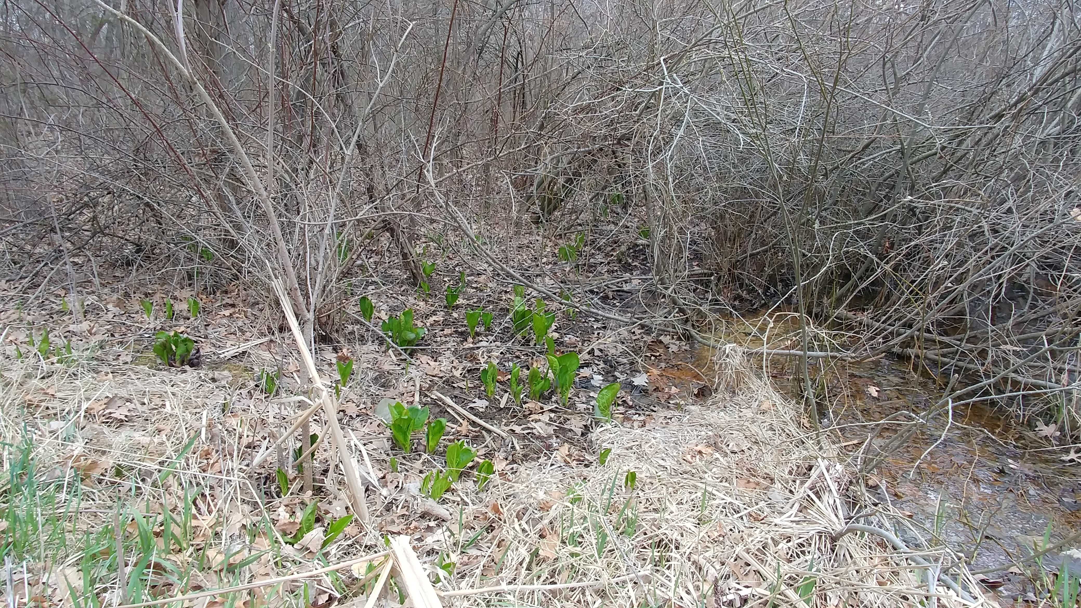 Eastern Skunk Cabbage Experiment