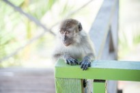 Will Hey Photography - Macaques of the Bako National Park