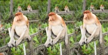 Will Hey Photography - The wild proboscis monkey's of the Kinabatangan river.