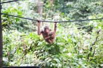 Will Hey Photography - The Orangutans of the Sepilok Rehabilitation Center